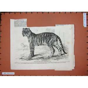 1859 Junglar Fighting Tiger King Oude Wild Animal
