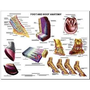 Equine Foot and Hoof Anatomy Chart Horse:  Industrial