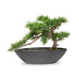 National Tree Cedar Green Bonsai with Oval Dark Brown Container, 14