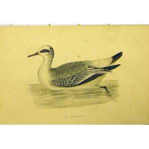 Grey Phalarope Bird Duck Hand Coloured Antique Print