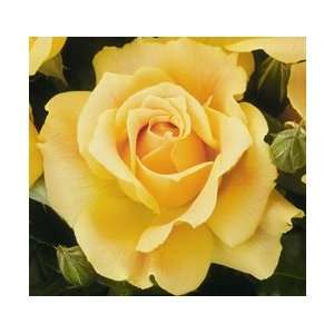 Easy Going Rose Seeds Packet Patio, Lawn & Garden