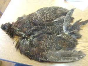 Full Natural Black Ringneck Hen Pheasant Wing Body Feathers
