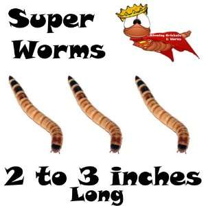 500ct Live Superworms Fishing Bait & Pet Food
