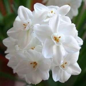 Narcissus Inball Paperwhites, 20 bulbs   17+cm: Patio, Lawn & Garden