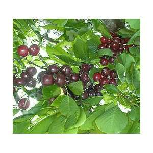 Northstar Dwarf Pie Cherry Tree Seeds *Tested for Proper